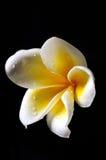 Weiße und gelbe Frangipaniblume Stockfotografie