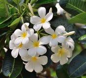 Weiße und gelbe Frangipaniblumen Stockfoto