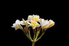Weiße und gelbe Frangipaniblumen mit Blättern Stockfotografie