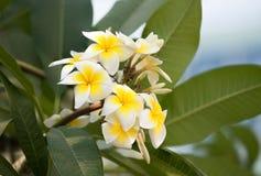 Weiße und gelbe Frangipaniblumen mit Blättern Stockfoto