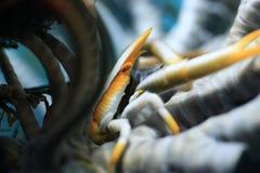Weiße und gelbe Krabbe innerhalb Feder Starfish Stockfotos