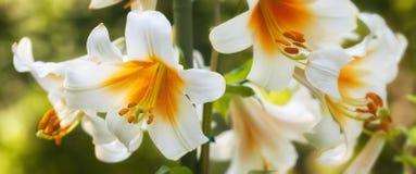 Weiße und gelbe Lilien stockbild