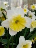 Weiße und gelbe Narzisse Lizenzfreie Stockbilder