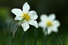 Weiße und gelbe Narzissen stockbilder
