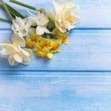 Weiße und gelbe Narzissen- und Tulpenblumen auf dem Blau gemalt Stockbild