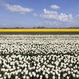 Weiße und gelbe Tulpen auf dem Blumengebiet mit blauem Himmel und Wolken Stockfotografie