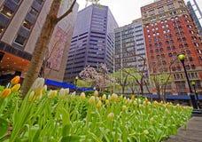 Weiße und gelbe Tulpen in der Blüte in Midtown Manhattan Stockfotografie