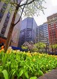 Weiße und gelbe Tulpen, die in Midtown Manhattan blühen Stockfoto