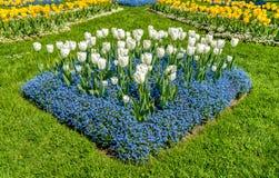 Weiße und gelbe Tulpen mit Zeit der alpines Vergissmeinnicht-blauer Blumen im Frühjahr Lizenzfreies Stockfoto