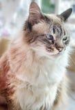 Weiße und graue flaumige Katze mit den blauen Augen, die unten schauen Lizenzfreie Stockfotografie