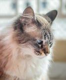 Weiße und graue flaumige Katze mit den blauen Augen, die unten schauen Stockfotos