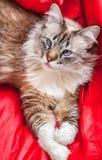 Weiße und graue flaumige Katze mit den blauen Augen legen, die oben von der oben genannten Perspektive und vom roten Hintergrund  Stockbilder