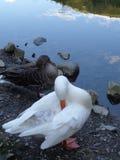 Weiße und graue Gänse, die Federn in dem Teich putzen lizenzfreie stockbilder