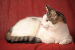 Weiße und graue Katze Lizenzfreie Stockbilder