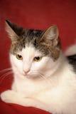 Weiße und graue Katze Stockfoto