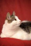 Weiße und graue Katze Lizenzfreie Stockfotos