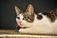 Weiße und graue Katze Lizenzfreies Stockfoto
