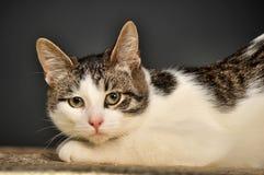 Weiße und graue Katze Lizenzfreies Stockbild