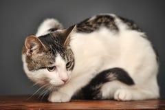 Weiße und graue Katze Lizenzfreie Stockfotografie