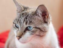 Weiße und graue Katze mit den blauen Augen, die seitlich, mit rotem Hintergrund schauen Lizenzfreie Stockfotografie