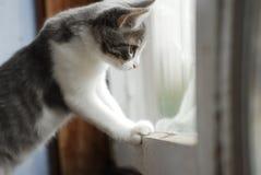 Weiße und graue kleine Miezekatze schaut im Balkonfenster am Sommertag Stockbilder