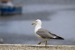 Weiße und graue Seemöwenvogelspaziergänge stockbild