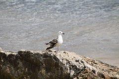 Weiße und graue Seemöwenvogelspaziergänge lizenzfreies stockfoto