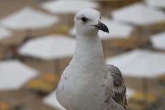 Weiße und graue Seemöwenvogelspaziergänge lizenzfreie stockfotos