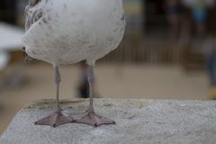 Weiße und graue Seemöwenvogelspaziergänge stockbilder