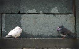 Weiße und graue Tauben an den Granitwänden Stockfotografie