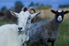 Weiße und graue Ziegenschafe Lizenzfreies Stockbild