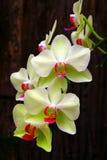 Weiße und hellgrüne Phalaenopsisorchideen Stockfotos