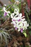 Weiße und lila Blumen der Orchidee Lizenzfreie Stockfotos