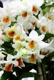 Weiße und orange Farben von Orchideen blühen mit grünem Orchideenblatthintergrund Stockbild