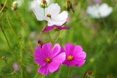 Weiße und pinkfarbene Blumen stockfotos