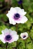 Weiße und purpurrote Anemonen Stockfoto