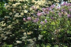 Weiße und purpurrote Baumbüsche zusammen in einem Foto stockfoto