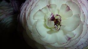 Weiße und purpurrote Blume Stockfotografie