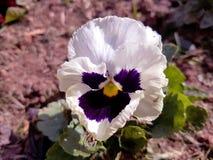 Weiße und purpurrote Blume Lizenzfreies Stockfoto