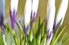 Weiße und purpurrote Krokusblumen lizenzfreies stockbild