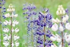 Weiße und purpurrote lupiuns Blumen lizenzfreie stockfotos