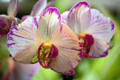 Weiße und purpurrote Orchidee Stockfotos