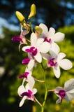 Weiße und purpurrote Orchideen Stockbild
