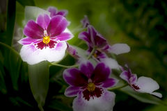 Weiße und purpurrote Orchideen in der Ausstellung Stockfotografie