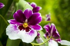 Weiße und purpurrote Orchideen in der Ausstellung Stockfoto