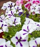 Weiße und purpurrote Pansies   Stockfoto