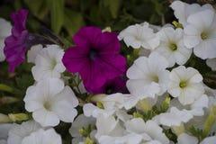Weiße und purpurrote Petuniennahaufnahme Üppig blühende Petunien herein Stockbild