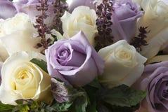 Weiße und purpurrote Rosa Stockfoto