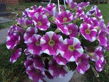 Weiße und purpurrote sweetunia Blume Stockfotografie
