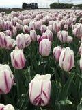 Weiße und purpurrote Tulpen Stockfotos
